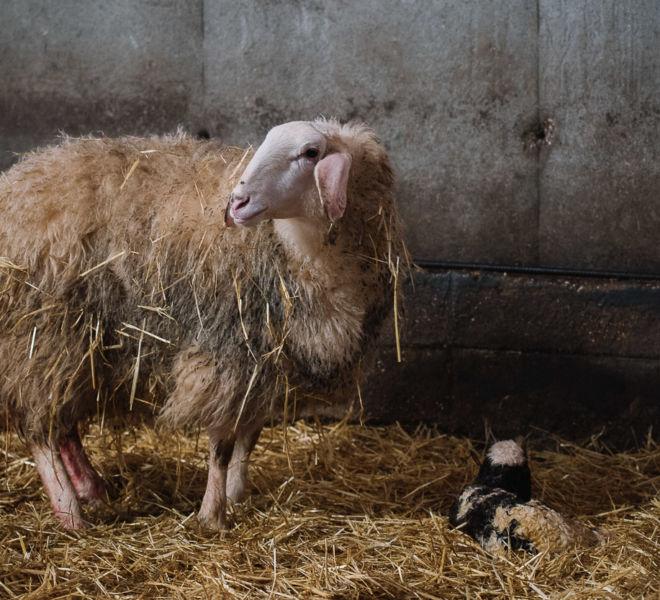 ovejas Quesos Rico